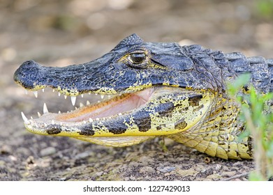 Young crocodile with open mouth