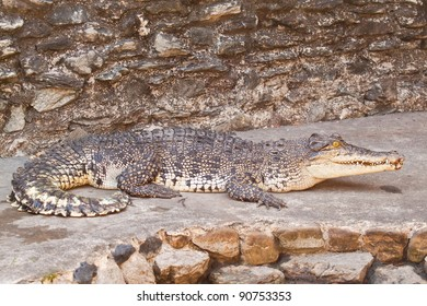Young Crocodiles resting