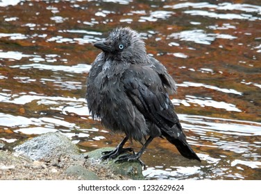 a young crow perched on a rock wet after bathing in a river