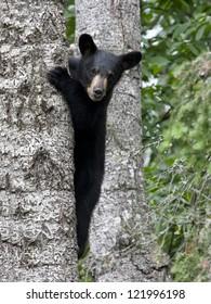 Young Cub Climbing a tree