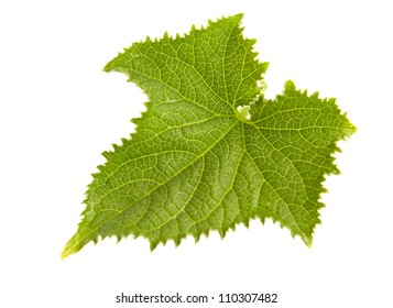 Young cucumber leaf closeup isolated on white