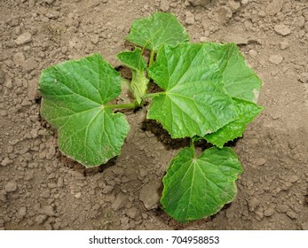 Young cucumber plant struggling to grow in dry soil. Top view