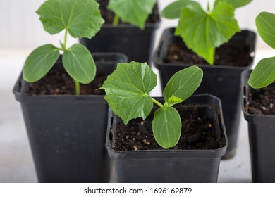 Young cucumber seedlings in a black flower pots on white background. Gardening concept.