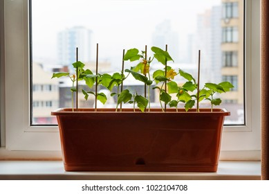 Young cucumbers plants on the window-sill. Home gardening, sprout.