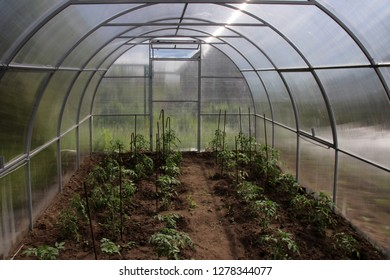 Young cultivar tomatoes growing in the modern arc polycarbonate greenhouse