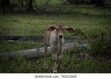 Young curious calf