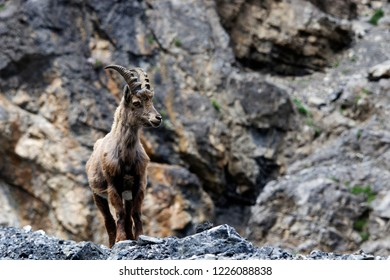 A young, curious ibex