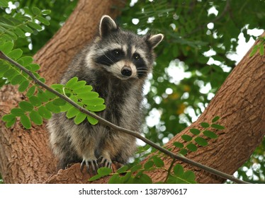 The young curious raccon on the tree
