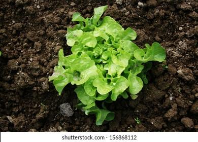 Young Curled Lettuce (Lactuca sativa L.)