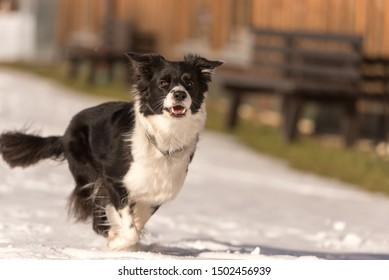 Young Cute Border collie dog in snowy winter. Dog running and having fun in the snow