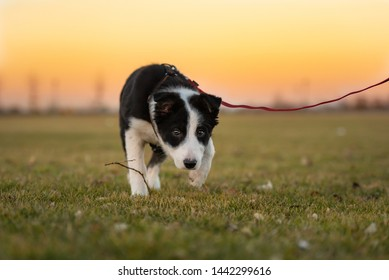 Young cute Border Collie puppy dog is running on a green meadow in front of colored sunset sky