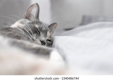Young, cute cat sleeps on a soft, warm plaid. Close-up.