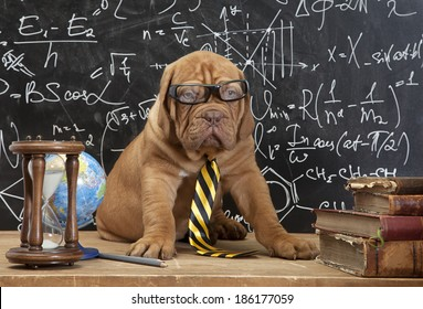 Young cute dog in front of blackboard during a math class. Dogue de Bordeaux Puppy  (French mastiff).