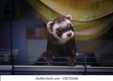 young cute ferret in his cage