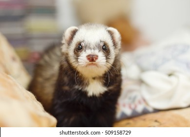 young and cute ferret lying in bed waiting