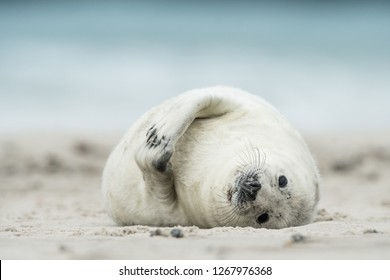 Young and cute grey seal pup, Halichoerus grypus, Helgoland, Germany