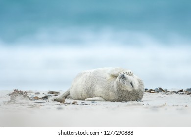 Young and cute grey seal pup on the sandy beach, close up, Halichoerus grypus, Helgoland, North Sea, Germany