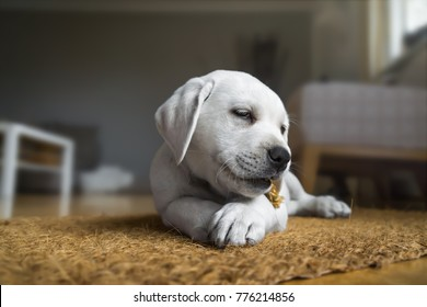 young cute labrador retreiver dog puppy is eating some food
