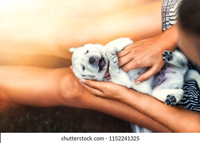 young cute laughing little white labrador retriever dog puppy lies on the legs of a woman enjoying a massage