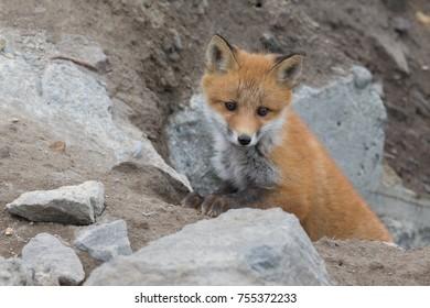Young cute little foxe on a stony sea coast. Selective focus.