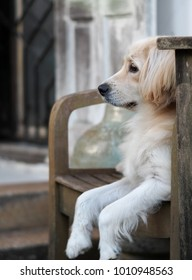 young cute lovely mixed breed dog looks like small Golden Retriever breed pastel soft colour long hair black eyes laying on wooden chair outdoor selective focus with  blur home background