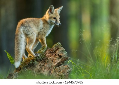 Young and cute Red fox on a forest meadow on a piece of wood, Vulpes vulpes, Czech Republic, Europe