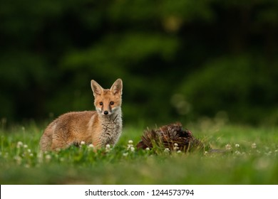 Young and cute Red fox with fox with a pheasant caught on a meadow , Vulpes vulpes, Czech Republic, Europe