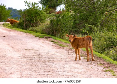 A young cute red-haired calf on a dirt road next to the pasture looks into the frame. Rural spring pasture landscape in Sochi, Russia.