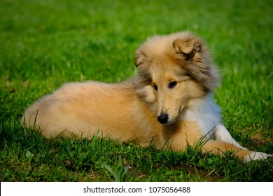 Young cute Rough Collie puppy