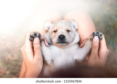 young cute small labrador retriever dog puppy with beautiful paws lies on persons legs getting cuddled with hand