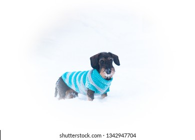 Young and cute wire-haired miniature dachshund puppy posing for the photographer on winter