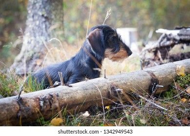 Young and cute wire-haired miniature dachshund puppy posing for the photographer on the forest on summer