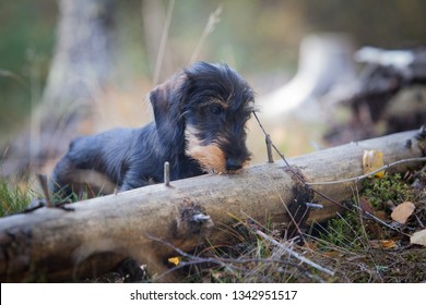 Young and cute wire-haired miniature dachshund puppy found something interesting from a fallen tree on forest