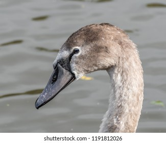 Young Cygnet Portrait