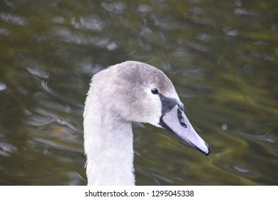 Young cygnet swan.