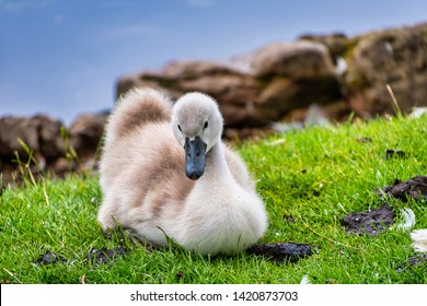 Young cygnet swan taking a rest on some grass