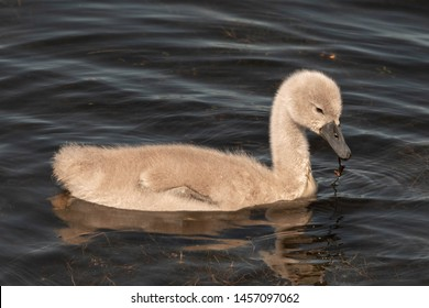 Young Cygnet Swans swimming on a Lake