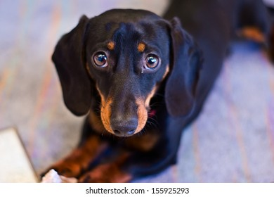 Young dachshund.