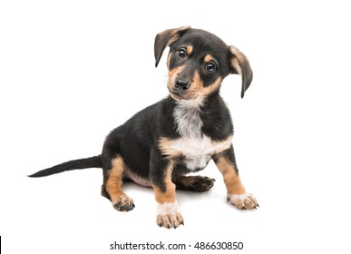young dachshund on a white background