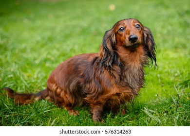 Young dachshund sits on grass