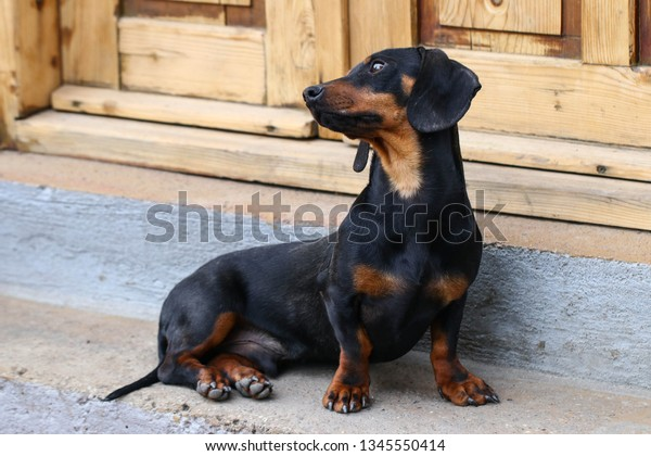 Young dachshund sitting on the porch