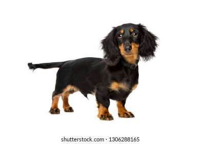 young dachshund standing in front of a white background