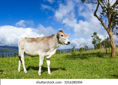 young dairy cow enjoying the sunshine and a fresh green pasture in Costa Rica.