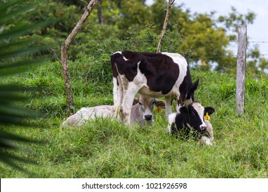 young dairy cows relaxing in a green pasture in tropical Costa Rica