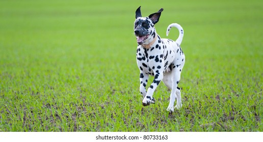 a young Dalmatian dog runs over green field
