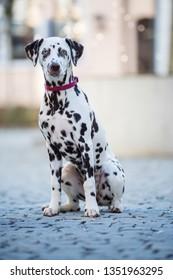 Young dalmatian dog sitting in a pedestrian zone