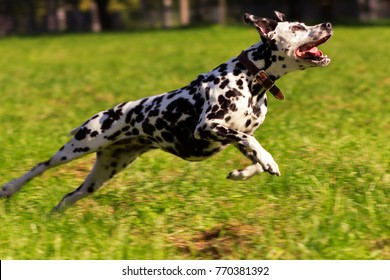 Young dalmatian running and looking forward at sunny day