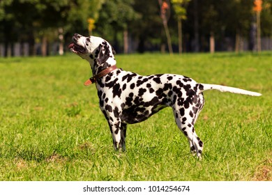 Young dalmatian standing and looking forward at sunny day
