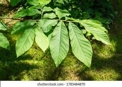 Young dark-green leaves of Asimina triloba or pawpaw in spring garden against green blurred backdrop. Spring concept of waking up nature. Freshness and beginning of new life