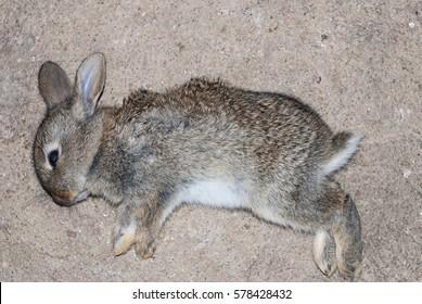 young dead rabbit